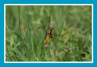 Libelle, Segellibelle, Vierfleck