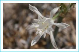 Strandlilie (Pancratium maritimum)
