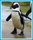 antetanni-fotografiert_Pinguin