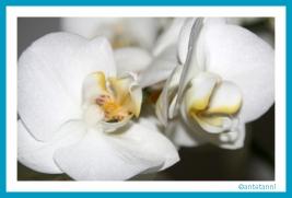 antetanni-fotografiert_Bluetenpracht-Orchidee_1
