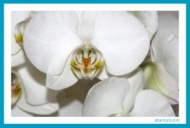 antetanni-fotografiert_Orchidee_3