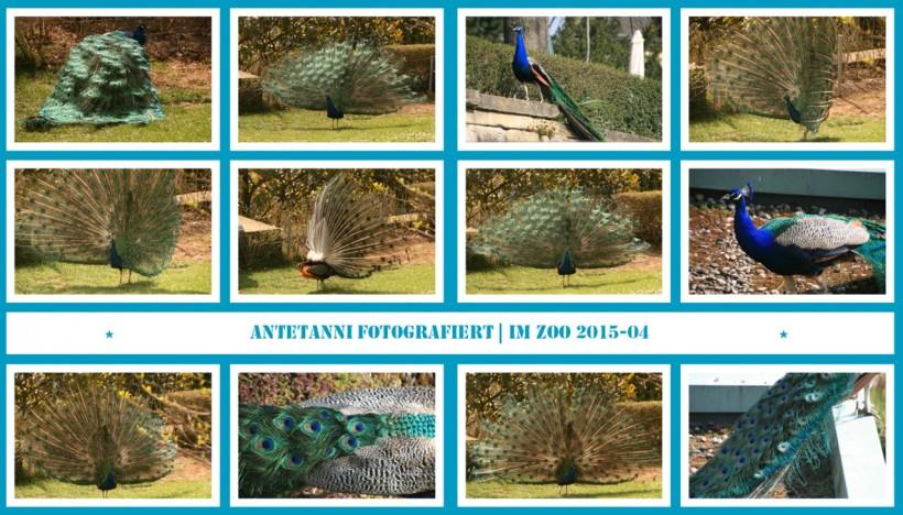 antetanni-fotografiert_Du-bist-nicht-allein_Ein-Tag-im-Zoo_2015-04_Pfau