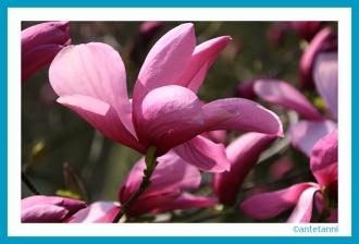 antetanni-fotografiert_Pretty-in-Pink_Magnolienbluete-Wilhelma-2015