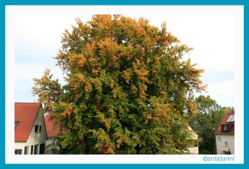 antetanni-fotografiert_Buche-mit-Herbstlaub_2012-10