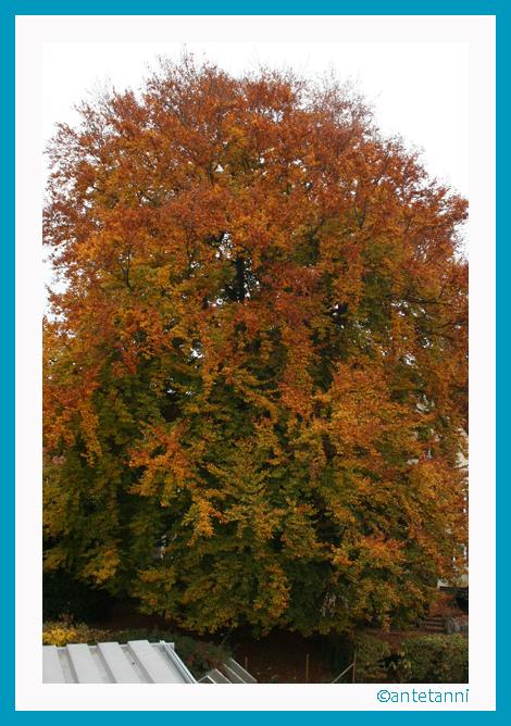 antetanni-fotografiert_Buche-mit-Herbstlaub_2015-10