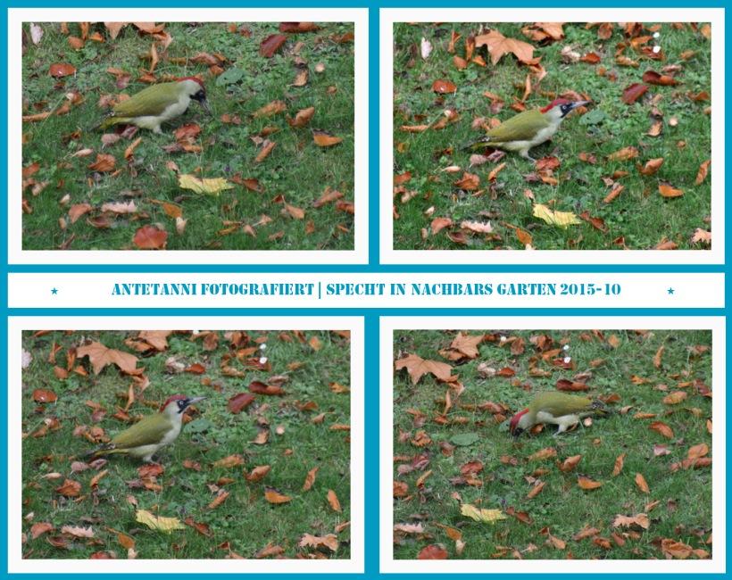 antetanni-fotografiert_specht-in-nachbars-garten