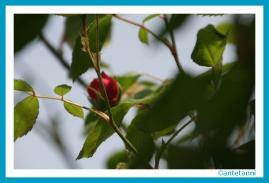 antetanni-fotografiert_Rose-Kletterrose_2016-05_Erste-Bluete
