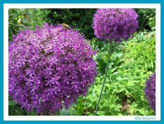 antetanni_Allium_Botanischer-Garten-Hohenheim