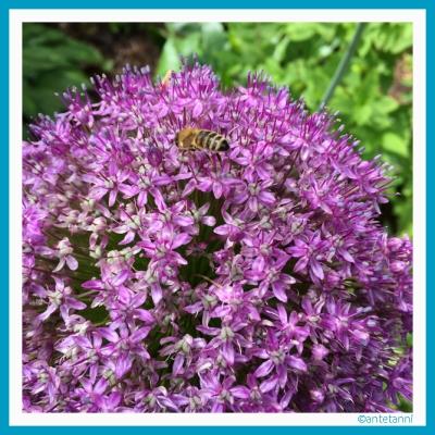 antetanni_Allium_Botanischer-Garten-Hohenheim_2