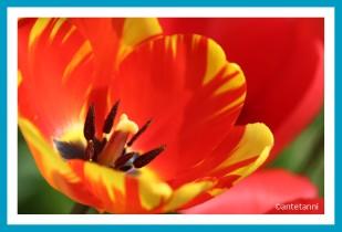 antetanni-fotografiert-Tulpen-vor-dem-Haus-2018-04 (2)