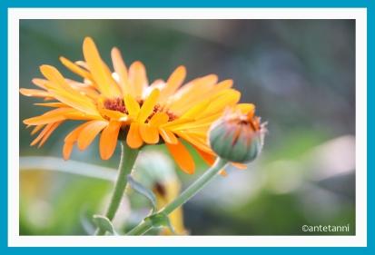 antetanni-fotografiert-Blumen-im-Herbst-2018 (2)