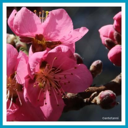 antetanni-fotografiert_pfirsichbluete-pretty-in-pink_2019-03-Q