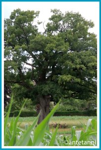 antetanni-fotografiert_12-tel-blick-Baum-Eiche-Duerre-Aeste_2020-06