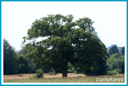 antetanni-fotografiert_12-tel-blick-Baum-Eiche-aus-der-Bahn-heraus_2020-08