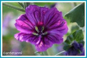 antetanni-fotografiert-balkonblumen-2020_malve-einzelblüte