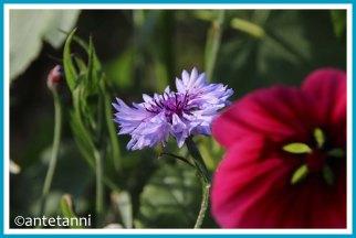 antetanni-fotografiert_12-tel-blick_2020-10_Blumen-zum-Selbstschneiden_Kornblume
