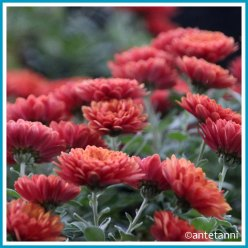 antetanni-fotografiert_52-fotoreise-blogzimmer_rot-28-chrysantheme_Q